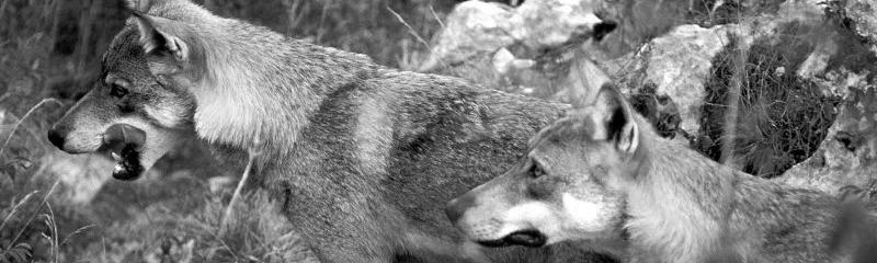 Canis lupus italicus Lupo appenninico